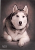 Siberian Husky, 10 Years Old, Black/White